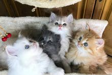 ,Persian kittens different colors, 45 days