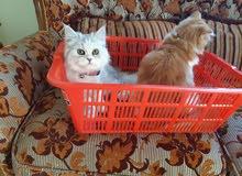قطتين انثى شيرازي للبيع