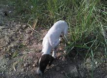 كلبه صيد بولنتر الماني