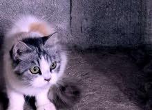 قطه اليفه جدا