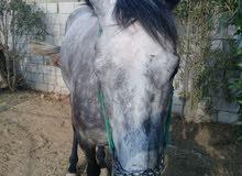 حصان انجليزي عمره اربع سنوات..للبدل على حﻻل