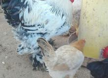 بيض عربي وبراهما درجه