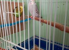 3جواز طيور حب