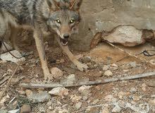 ذئب وكلب ألماني للتبديل بكلاب هايسكي