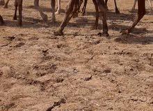 جمل للبيع الموقع السودان