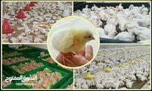 كتاكيت صيصان دجاج لاحم تركي من الميثاق للدواجن