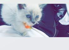 قطة سيامي هجين فارسي