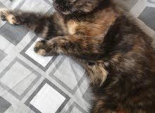 قطط ميكس شيرازي وسكوتش فولد للبيع