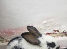ارانب للبيع انثى و ذكر