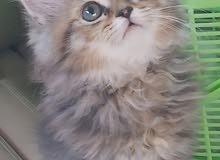 Beautiful Chinchilla Golden Kitten شنشيلا قولد