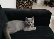 قط سكوتش فولد و قطة بريتيش للبيع