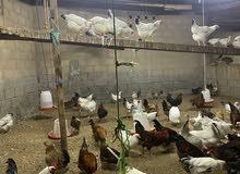 دجاج فرنسي بيور بياض ( الاحمر و الابيض )