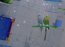طيور الحب السعر 25 هنه والقفص