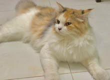 قطة شيرازية لعوبه -  lovely persian cat