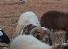 خروف خرطومي للبيع