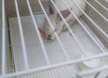 ارنب أنثى فرنسي بصحه ممتازه  للبيع مع القفص ...