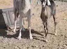 عنز جزيرية يما و تحتها صخله