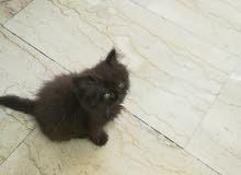قط فارسي عمره شهرين