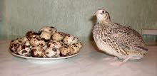 بيض سمان مخصب