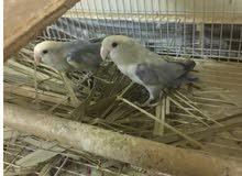 طيور روز جوز