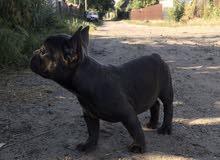 كلب فرنش بول دوج للاستيراد من اوروبا
