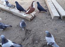 طيور متنوعه للبيع