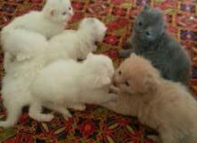 قطط شيرازي صغيرة