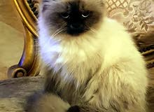 قط هيمالايا بيور