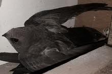 طير الابابيل