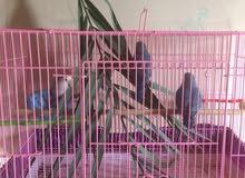 طيور روز عائلة متكاملة