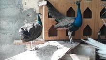 طاوؤس هندي