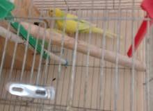طيور حب للبدل ع طيور