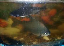 سمك عملاق...