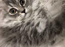 قط نوع شيرازي باللون الرمادي المموج