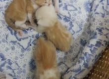 للبيع قطة بريتش تابي مع ولادها اربعة عمر 25يوم