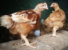 دجاج هولندي الاحمر البياض