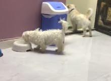 كلبين مالتيز ذكر و(أنثى مني)  جاهزين للإنتاج