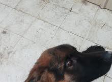 للبيع كلب جيرمن شبرد شون لاين
