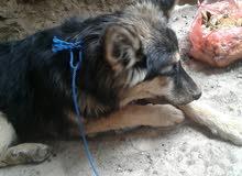 كلب بوليس شرطه  ولف صغير السن اتى من المانيا  للبيع عرطه خاص