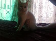 قط شيراز انثئ ....بيضاء اللون