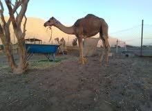 قعود محلي عماني