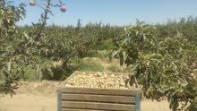 ارض مزروعه 1700شجره زيتو الشوبك