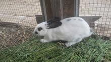 ارانب هولنديه اثنين اناث