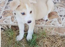 كلب هاسكي سيبيري ثلاث شهور