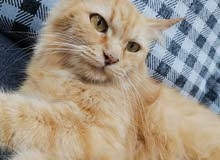 قطه شيرازية انثى حامل للبيع