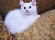 قط شيرازي مستوى عالي ..kitten Male 3 Months