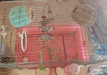عصافير زيبرا كوبيا اواحد فرادي