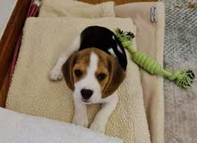 Cute Beagle Female Puppy Available