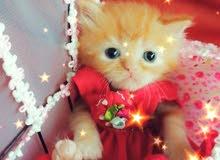 600 per one kitten