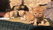 قطط هيمايلا الاب والام فصيلة نادره angry face العمر شهرين للاستفسار 0911497269